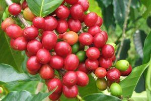 Giá cà phê hôm nay 14/9: Bất ngờ tăng 700 đồng/kg