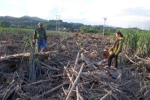 Hàng trăm héc ta mía ở Anh Sơn bị vùi lấp sau lũ
