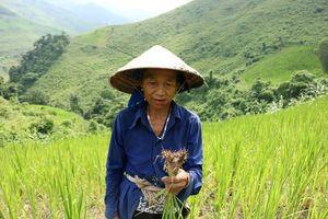 Nhiều diện tích lúa rẫy ở Kỳ Sơn nguy cơ mất trắng sau mưa lũ