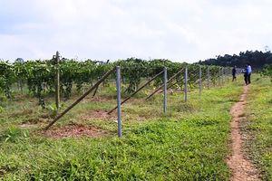 Hiệu quả chuyển đổi cơ cấu cây trồng ở huyện Ngọc Lặc