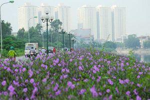 Bất ngờ con đường hoa tím đẹp lãng mạn ven sông Tô Lịch