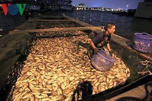 Cá lại chết nổi trắng Hồ Tây