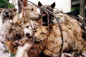 Thú ăn thịt chó rất gần với sự ăn uống hoang dã