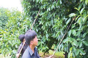 Hiệu quả từ sản xuất cây ăn trái theo GAP
