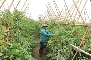 Hợp tác xã nông nghiệp: Khó tiếp cận vốn vay