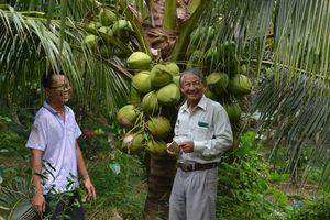 Liên kết trồng dừa thơm Island sống khỏe re