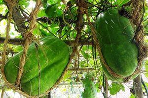 Làng trồng bí đao khổng lồ, có trái nặng tới 80kg ở Bình Định