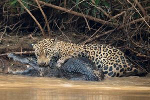 Đại chiến bờ sông, báo cắn cổ cá sấu làm mồi ngon
