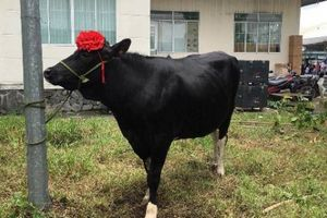 Hoa hậu bò sữa 2018 dầm mưa nhận giải