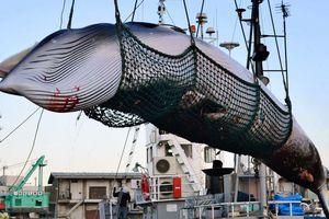 Ủy ban đánh bắt cá voi quốc tế nói 'không' với đề xuất của Nhật Bản