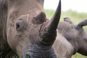Sử dụng sừng tê giác: Sự thật đằng sau lời đồn thổi