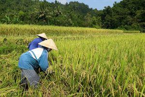 Nông dân vùng cao tất bật gặt lúa chạy bão Mangkhut