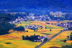 Không chỉ có Việt Nam, mùa lúa chín ở Trung Quốc cũng đẹp ngỡ ngàng chẳng kém