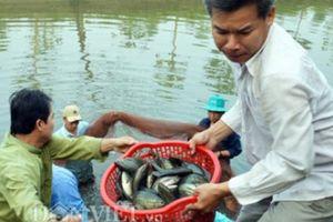 Những điều cần biết khi nuôi cá sặc rằn trong ao nhiễm phèn