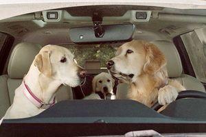 Chó cũng có thể cầm lái xe ôtô như người?
