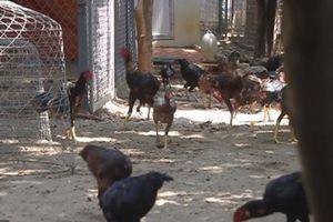 'Đột nhập' trang trại gà chọi 'khủng', giá trăm triệu/đôi ở Hà Nội