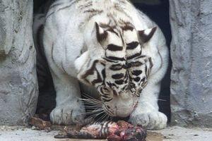 Ảnh động vật tuần: Hổ mẹ cố đánh thức con đã chết, sư tử đùa...