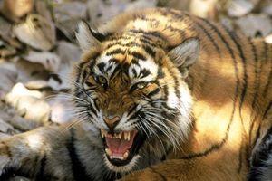 Hổ cái 'thành tinh', hại chết 13 người ở Ấn Độ