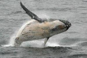 Brazil: Kiến nghị IWC bảo vệ số lượng cá voi trên thế giới