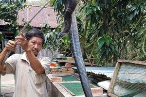 Kiên Giang: Bắt rắn hổ mang bò vào nhà và theo luôn nghề nuôi rắn độc