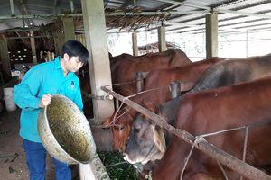 Trở thành 'triệu phú' từ mô hình nuôi bò khép kín