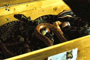 Hành khách gây náo loạn vì mang 20 con rắn lên máy bay