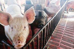 Người nuôi lợn cần chủ động phòng dịch