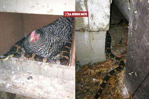 Người phụ nữ hoảng hốt phát hiện rắn mò vào trang trại nhờ gà sưởi ấm
