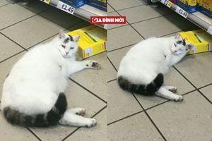 Chú mèo thản nhiên đi vào siêu thị trộm đồ ăn rồi lăn quay ra ngủ