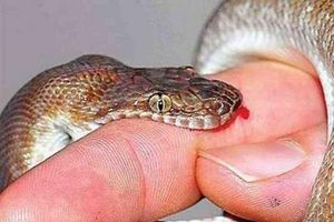 Phương pháp xử trí nhanh khi bị rắn độc cắn