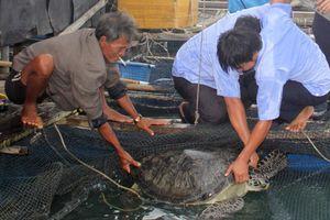 Giải cứu 12 con rùa xanh quý hiếm ở Phú Quốc