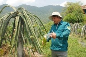 Trở thành nông dân xuất sắc nhờ trồng thanh long ruột đỏ