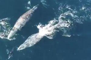 Lạ kỳ cảnh cá heo chơi đùa cùng cá voi
