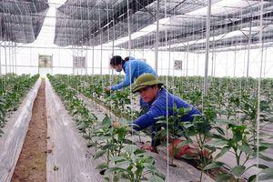 Tam Dương (Vĩnh Phúc) phát triển nông nghiệp theo hướng hàng hóa chất lượng cao