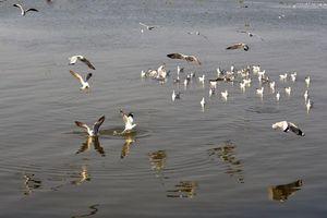 Tuyệt đẹp cảnh chim hải âu săn mồi trên biển Kiên Giang