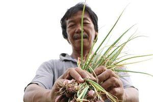 Nông dân trồng hành Ninh Thuận lao đao vì... thương lái 'ngó lơ'