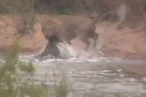 Clip: Sư tử bị cá sấu phục kích khi qua sông