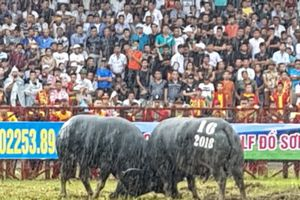 Người hâm mộ đội mưa đến Lễ hội chọi trâu Đồ Sơn 2018