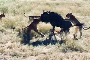 Linh dương đầu bò 'đơn thương độc mã' đả bại 8 con sư tử