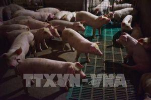 Khẩn cấp ứng phó trước nguy cơ xâm nhiễm bệnh dịch tả lợn châu Phi