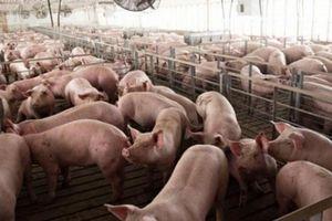 Giá heo hơi hôm nay 20/9: Nhiều nơi tăng giá, thương lái xếp hàng mua lợn hơi