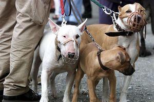 Hà Nội kiên quyết xử lý việc nuôi chó thả rông, không rọ mõm