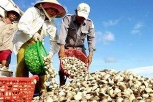 Người nuôi nghêu ở Trà Vinh thiệt hại kép