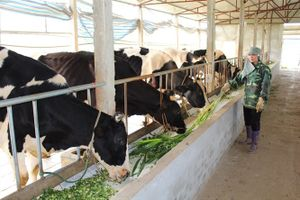 Tọa đàm nuôi bò sữa bền vững