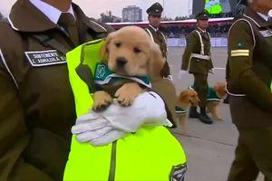 Dàn cún con hút hết mọi ánh nhìn tại lễ duyệt binh Chile