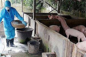 Chủ động biện pháp ngăn chặn bệnh dịch tả lợn châu Phi xâm nhiễm