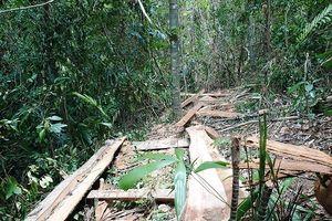 Huế: Lâm tặc 'rộn ràng' rút ruột rừng phòng hộ A Lưới