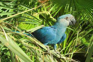 Giống vẹt xanh quý hiếm trong bộ phim 'Rio' hiện giờ ra sao?