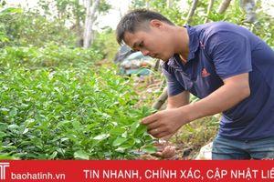 Giống cây ăn quả đặc sản Hà Tĩnh thâm nhập thị trường ngoài tỉnh