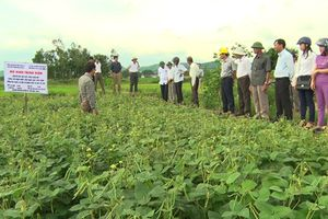 Cam Lộ: Chuyển ruộng bỏ hoang sang trồng đậu xanh